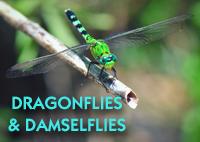 DragonfliesDamselflies