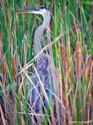 Great Blue Heron - Waco Wetlands, TX