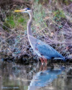Great Blue Heron - Cedar Park, TX