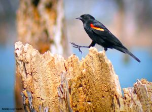 Red Winged Blackbird - Lake Waco, TX