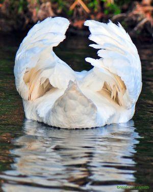 Mute Swan - Austin, TX