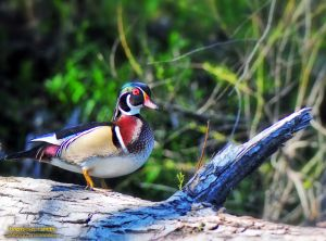 Wood Duck - Austin, TX
