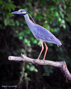Yellow Crowned Heron - Austin, TX