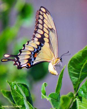 GiantSwallowtailFemale01BJS.jpg
