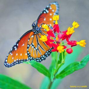 Monarch02BJS.jpg