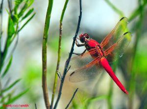 CardinalMeadowhawkMaleBJS.jpg