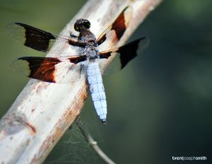 Common-Whitetail-DragonflyBJS.jpg