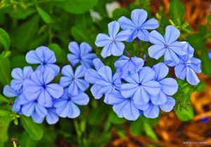 BlueFlowers-BJS.jpg