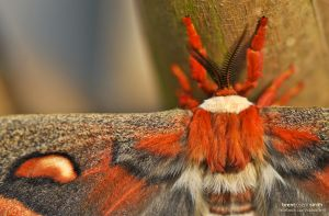 Cecropia Moth Female - Cedar Park, TX
