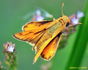 Fiery Skipper Moth Male - Austin, TX
