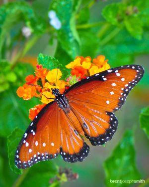 Queen Butterfly - Cedar Park, TX