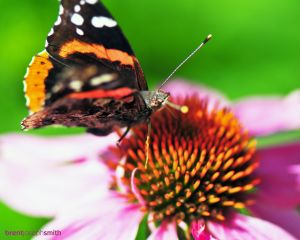 Red Admiral on Purple Comb Flower - Austin, TX