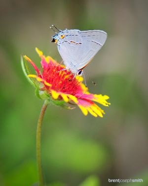 Red Banded Hairstreak - Austin, TX