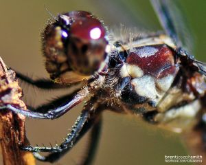 DragonflyCloseup02BJS.jpg