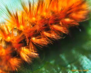 YellowBearCaterpillarBJS.jpg