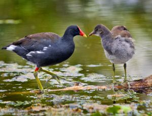 CommonGallinule002_BJS.jpg